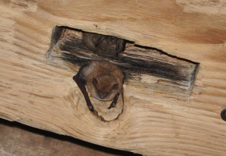 Murins à oreilles échancrées posés en charpente, hors cathédrale