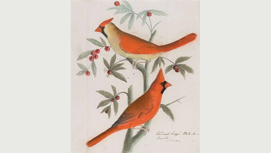 Jean-Jacques Audubon, Cardinal rouge - Muséum de La Rochelle