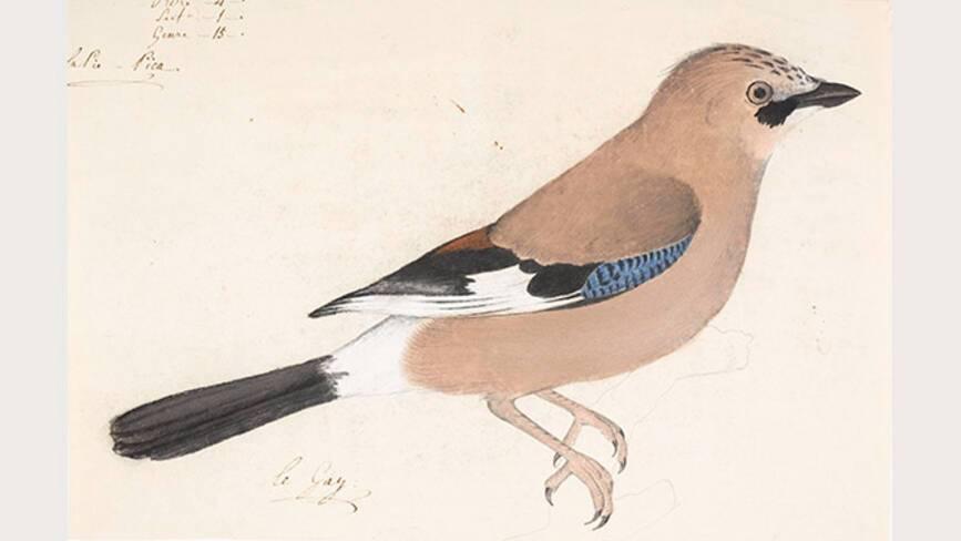 Jean-Jacques Audubon, Geai des chênes - Muséum de La Rochelle