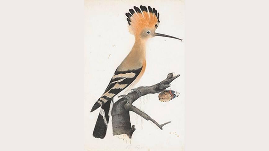 Jean-Jacques Audubon, Huppe fasciée - Muséum de La Rochelle