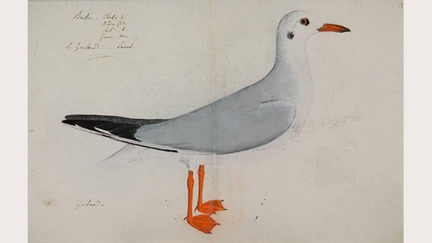 Mouette Jean-Jacques Audubon, Mouette rieuse - Muséum de La Rochelle
