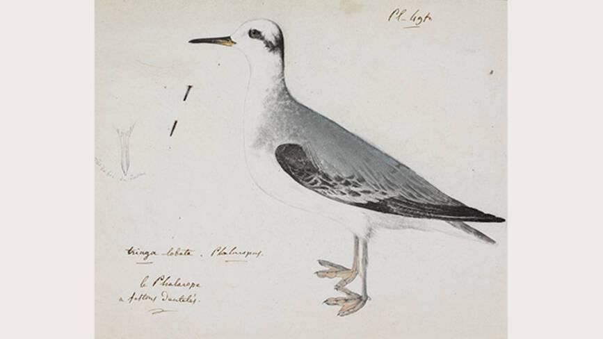 Jean-Jacques Audubon, Phalarope à bec large - Muséum de La Rochelle