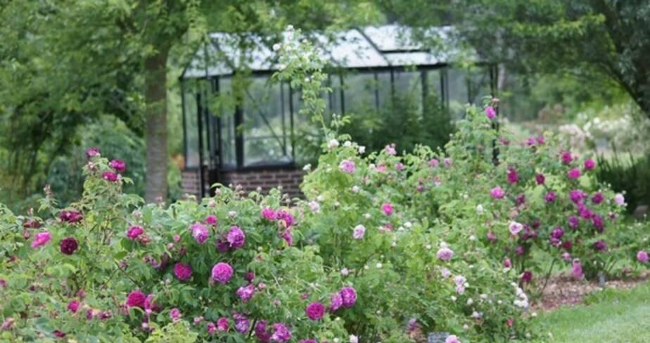 Allée de plan de rosiers anciens, en arrière plan une serre en verre