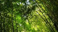 Parc aux Bambous, Lapenne, Broque