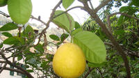 Menton - Citronneraie du mas Flofaro