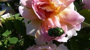 Cétoine dorée sur rose
