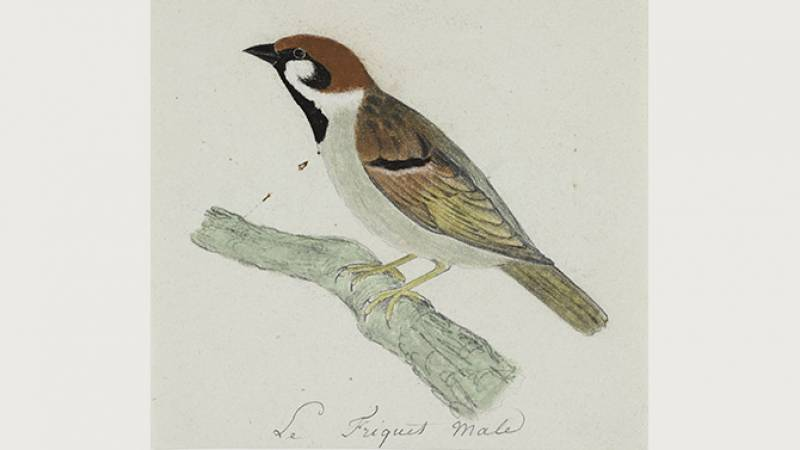 Jean-Jacques Audubon, Moineau friquet - Muséum de La Rochelle