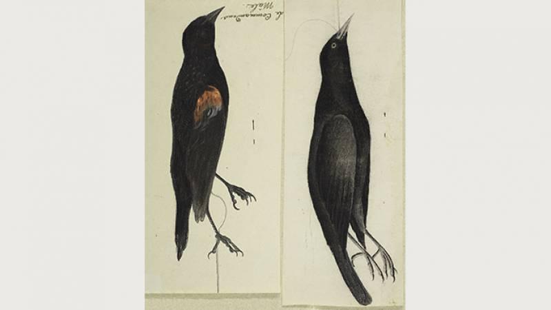 Jean-Jacques Audubon, Quiscale rouilleux - Muséum de La Rochelle